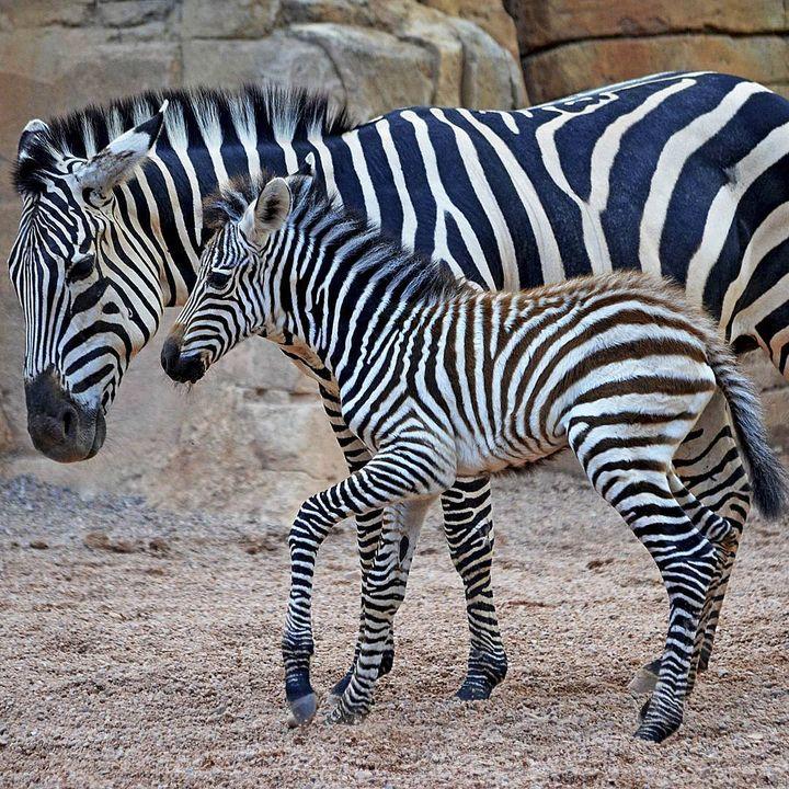 The Baby Zebra