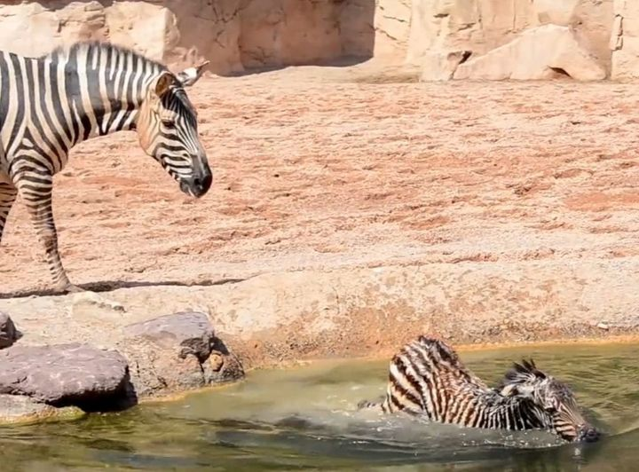 Baby Zebras Cannot Swim